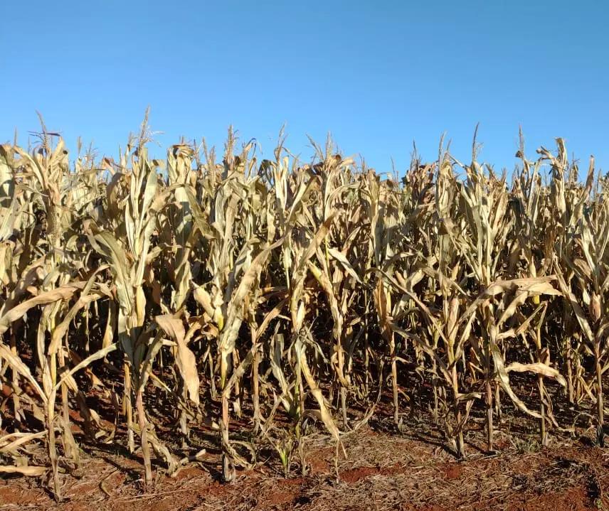 Frio intenso matou lavouras inteiras de milho em Maringá e região