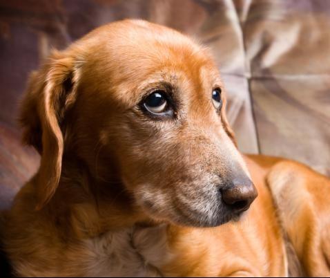 Alzheimer: entenda como essa doença afeta os cães