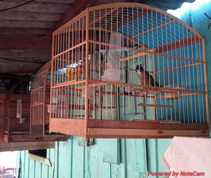 Aves silvestres expostas em bar irregularmente são apreendidas em Fênix
