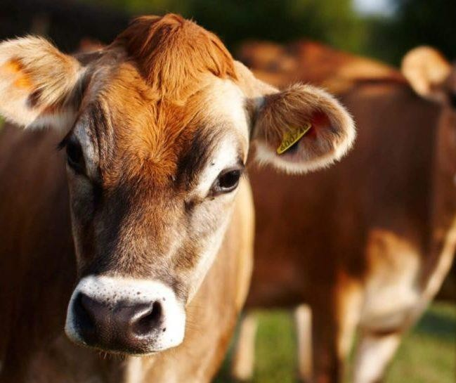 Produção de leite chega a 36 litros por dia ficando em 7º lugar nos EUA