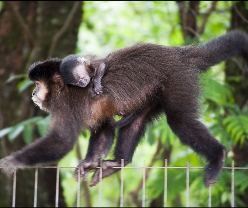 Saúde aguarda laudo de morte de três macacos em Maringá
