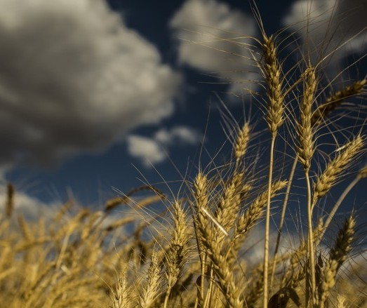 Cientista japoneses criam variedade de trigo resistente à chuva