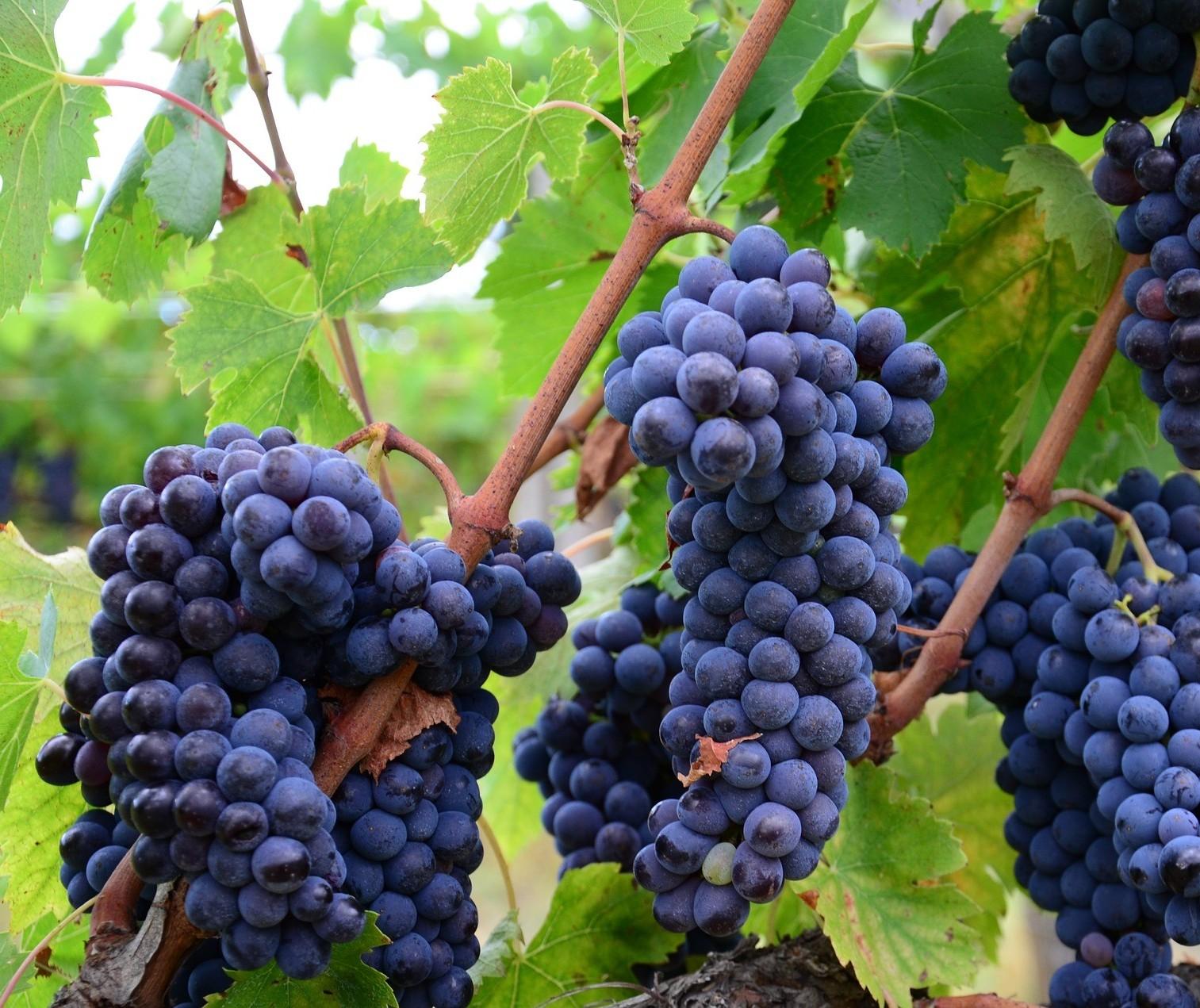 Fazer vinho é fácil; com qualidade é outra história