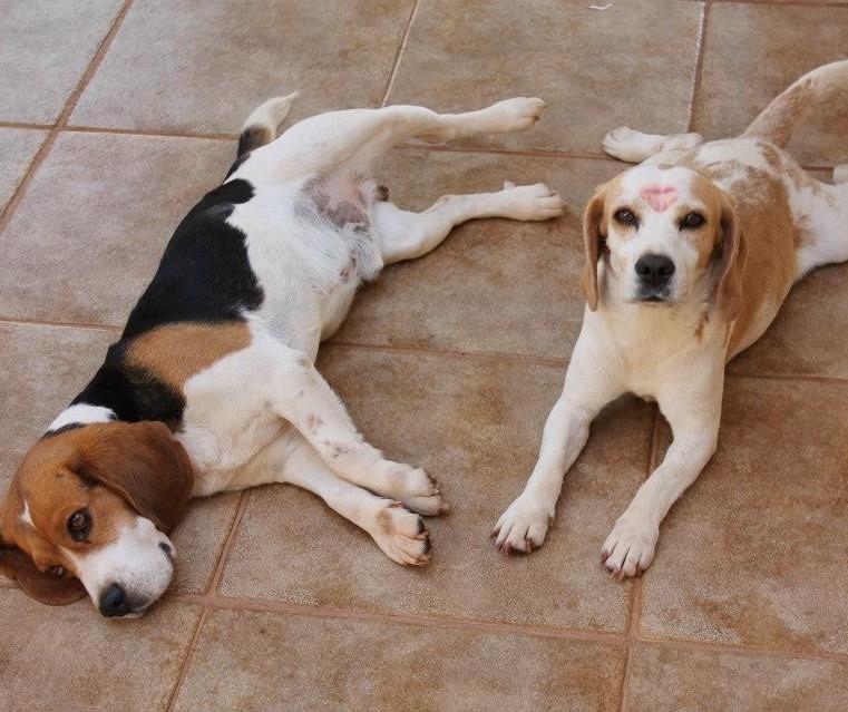 UEM é multada por maus-tratos a beagles usados em pesquisas