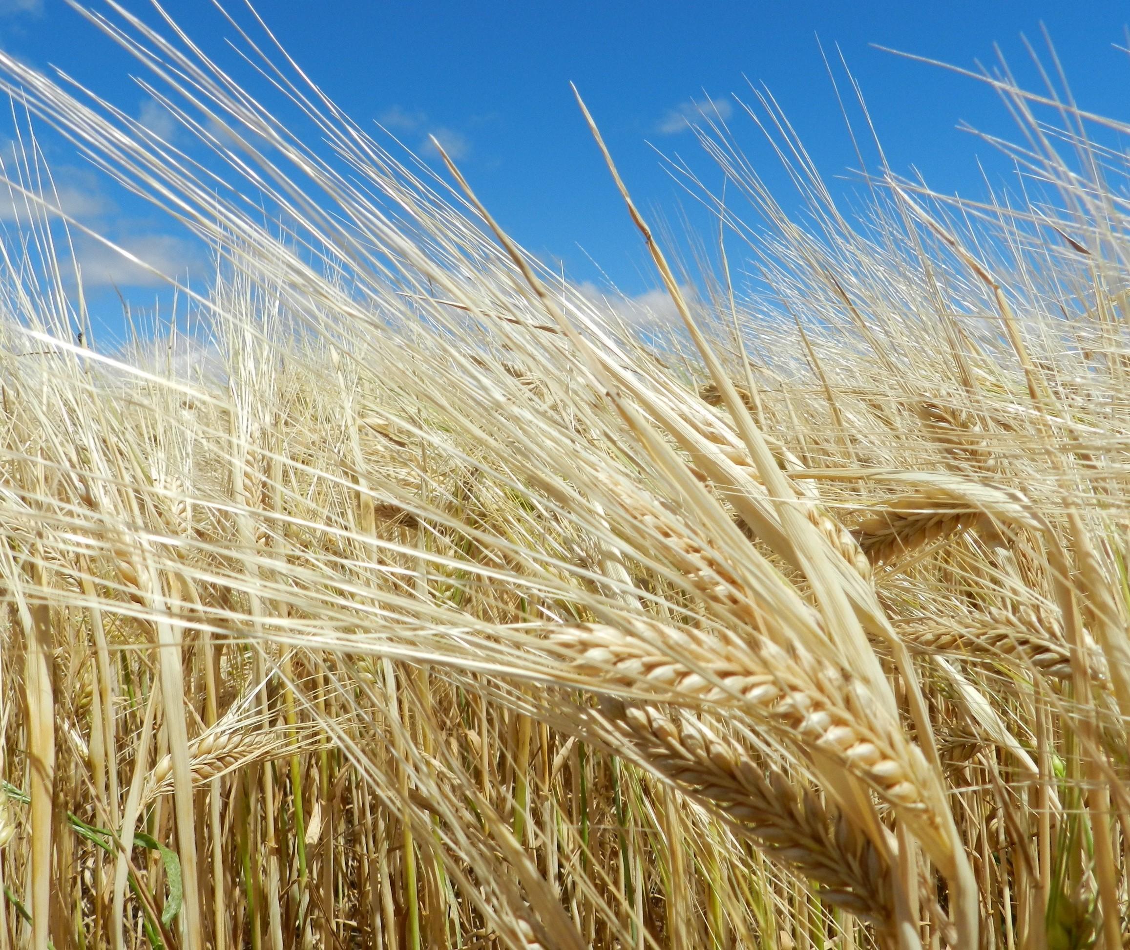 Produção nacional de cevada sobe 12% em relação a 2018
