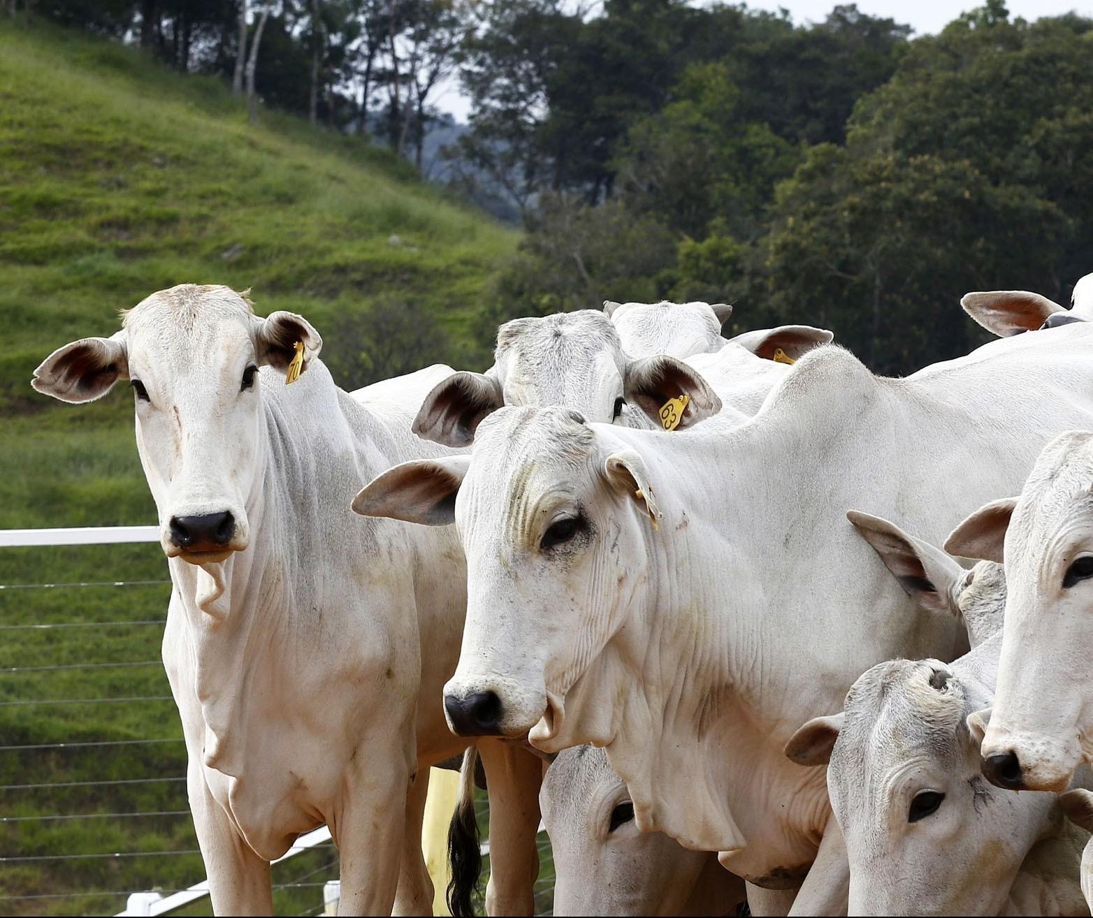 Mercado do boi gordo mostra estabilidade dos preços