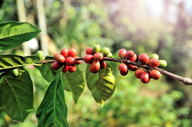 Clima favoreceu término positivo da colheita do café