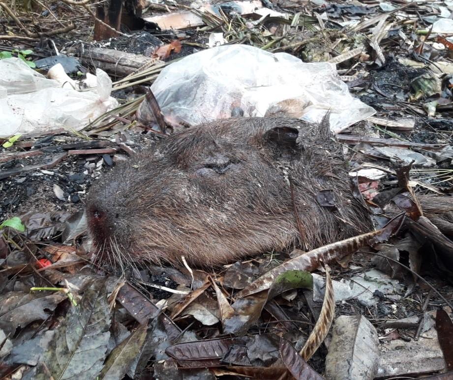Polícia Ambiental de Maringá investiga a morte de três capivaras