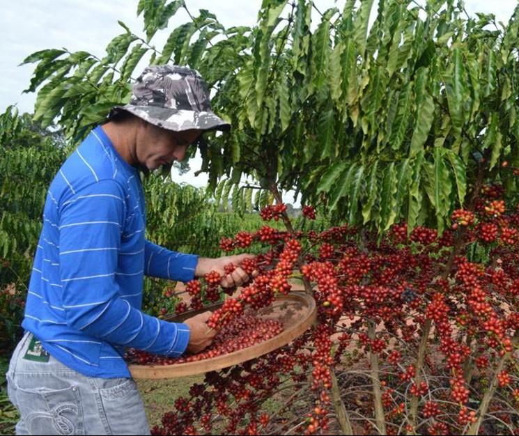 Colheita do café chega a 73% no Paraná