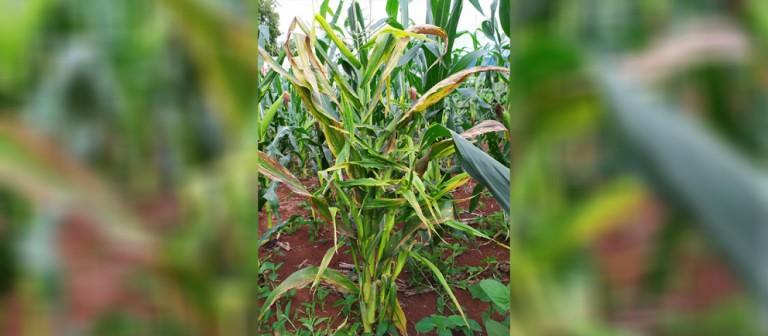 Enfezamento pode prejudicar safra de milho