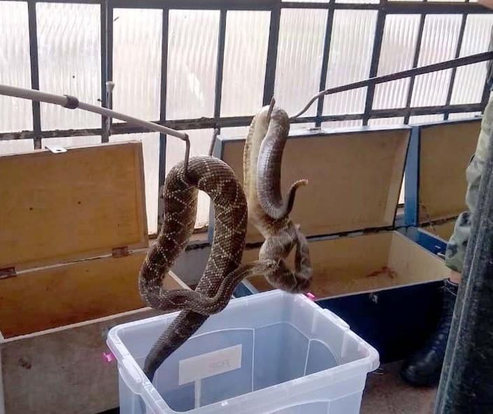 Morador de Mandaguari entrega mais de 150 cobras venenosas à Polícia Ambiental