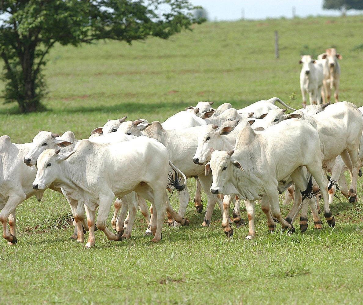 Ladrões furtam 33 cabeças de gado em Cianorte
