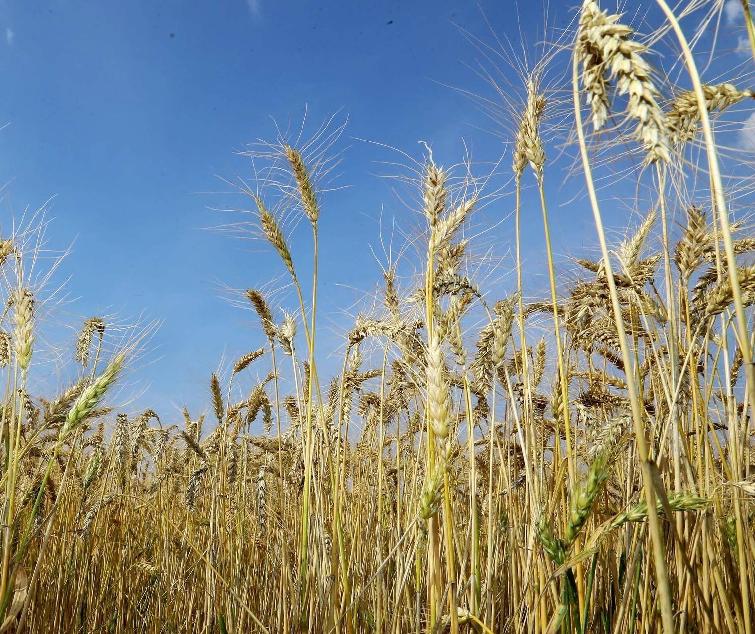 Preços do trigo perdem competitividade no Brasil
