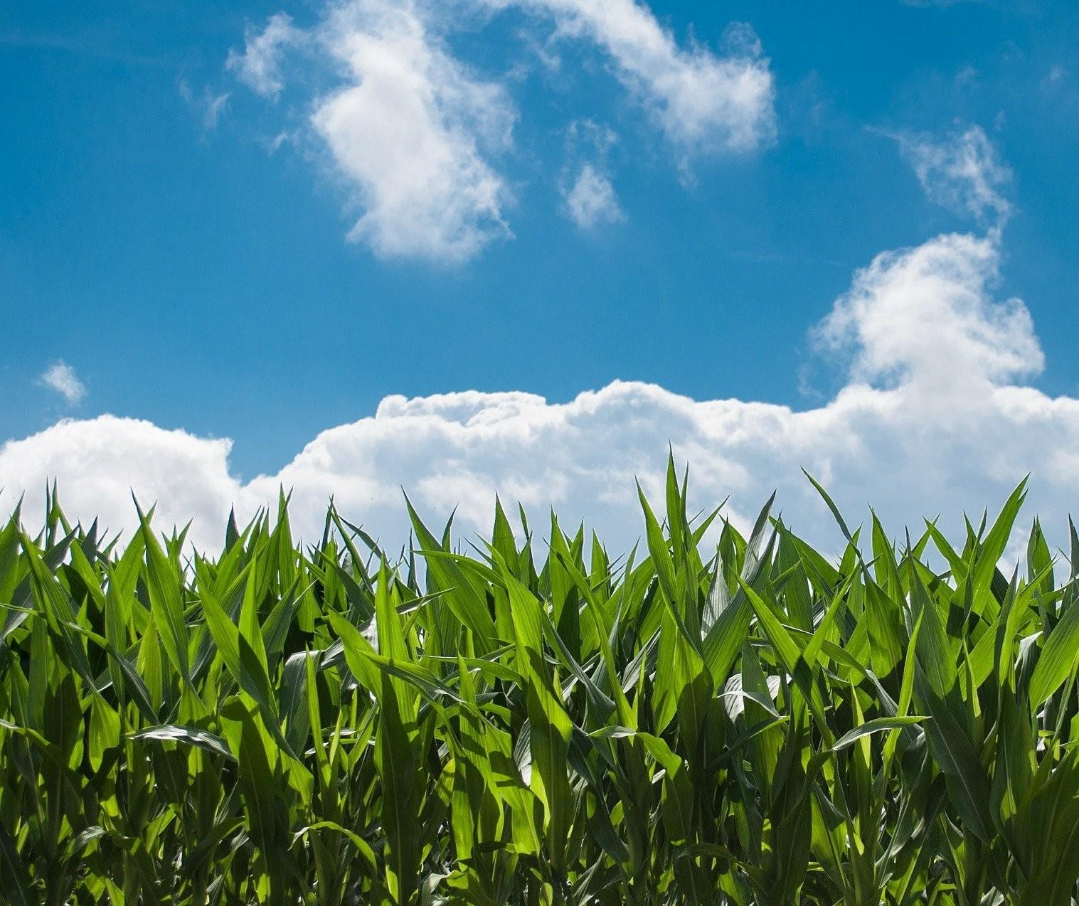 Sistema inédito de produção de grãos reduz riscos de plantio do milho safrinha