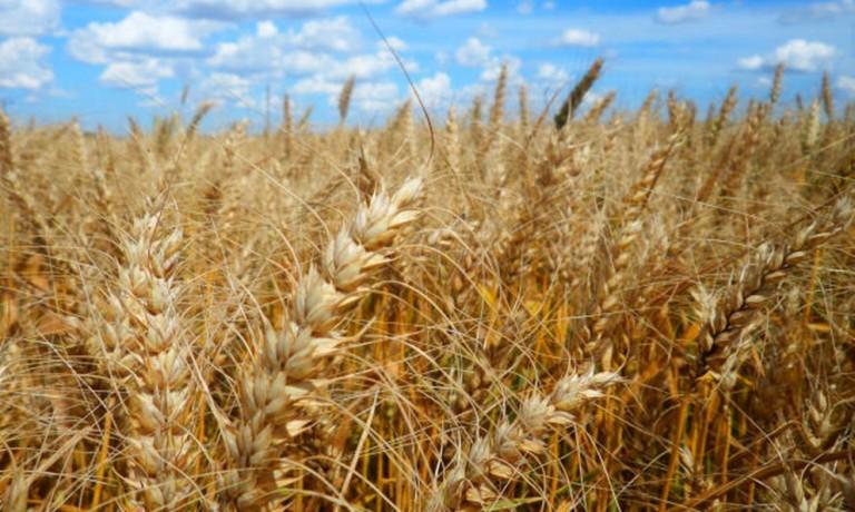 Preços do trigo em grãos permanecem estáveis no mercado brasileiro