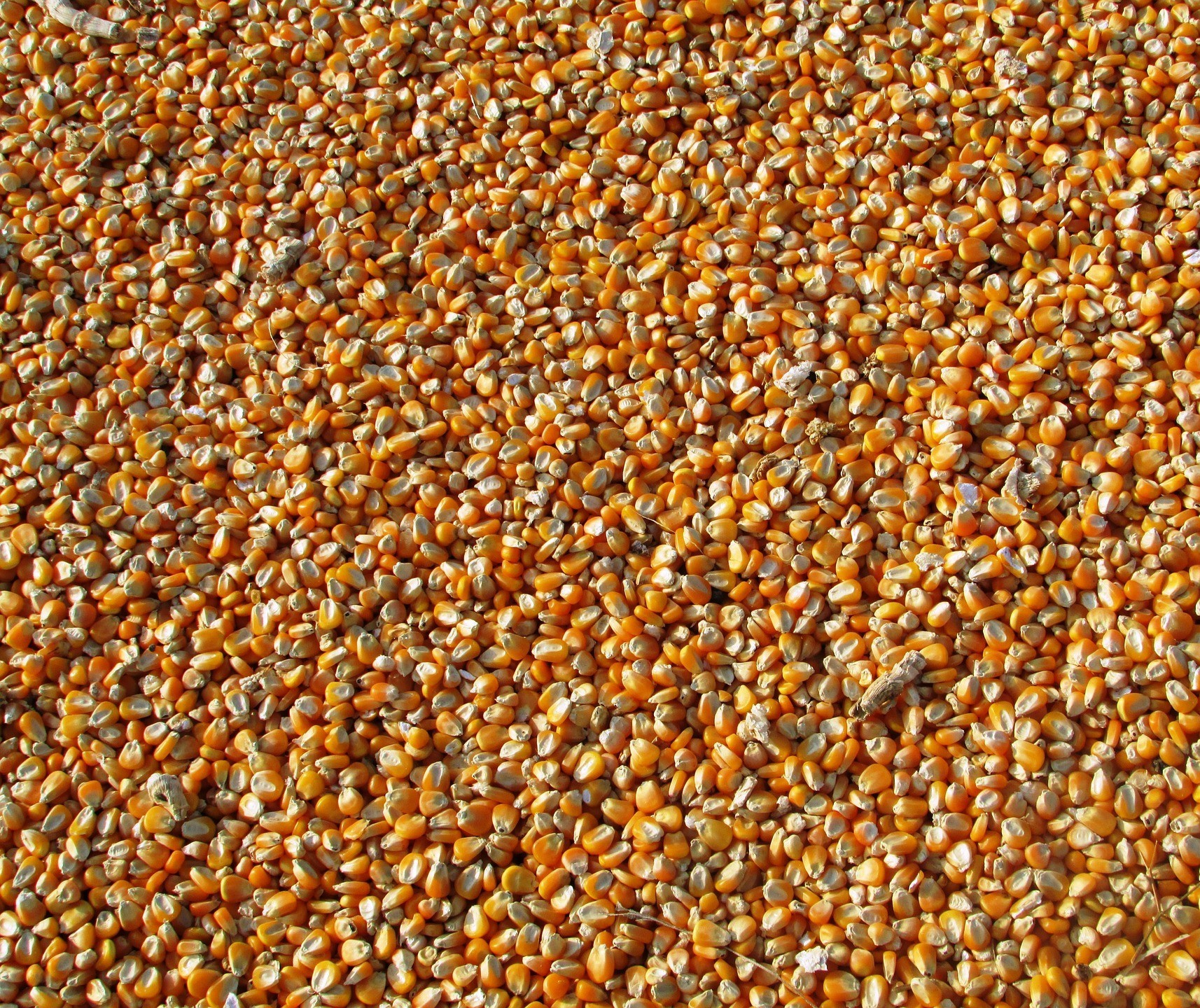 Primeira semana de junho já exportou 54% mais milho do que todo o mês de maio