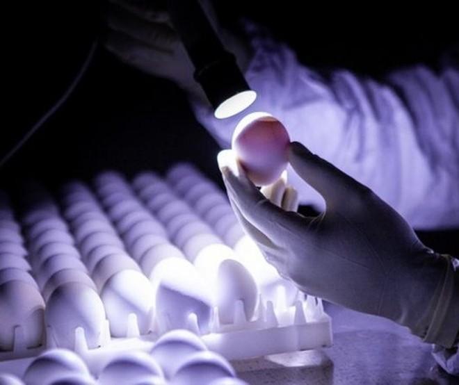 Semana Nacional do Ovo: conheça a produção de ovos férteis para fabricação de vacinas