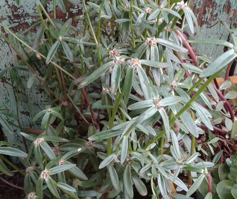 Planta que nasceu de semente da China em Maringá será destruída, diz Adapar