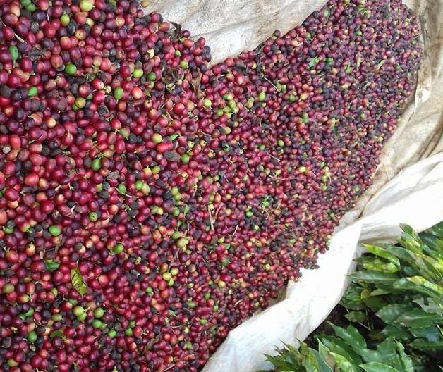 Saca do café custa R$ 377 na região de Maringá