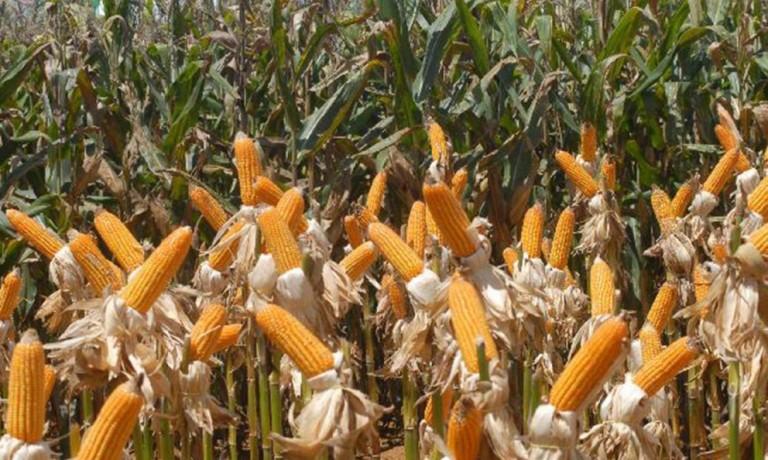 Brasil exportou quase 823 mil toneladas de milho em fevereiro