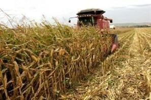 Excesso de umidade prejudica produtividade do milho safrinha na região