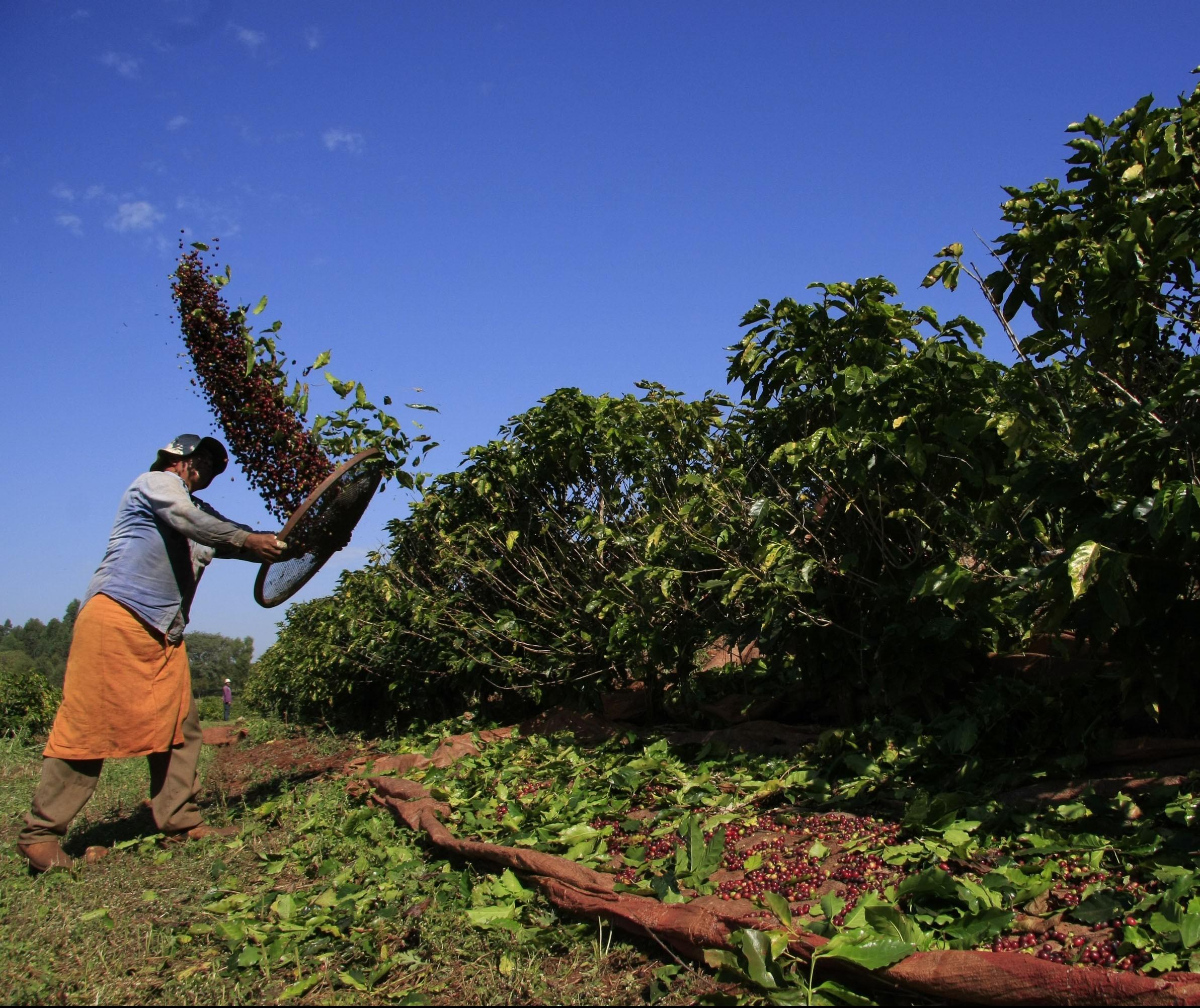 51% da área plantada com café foi colhida