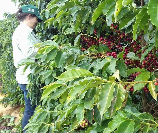 Clima favorece colheita de café no Paraná