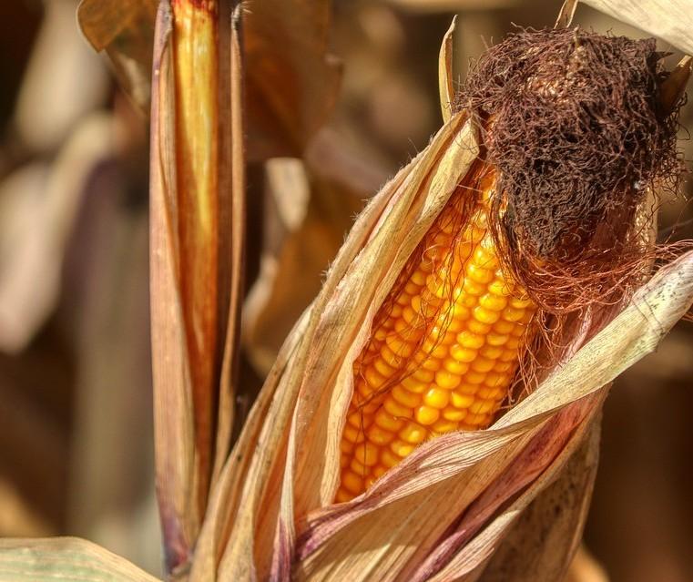 Cepea: comercialização de milho em abril nas principais praças acompanhadas esteve em ritmo lento