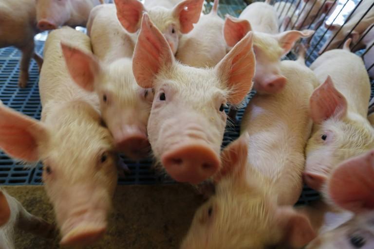 Chancela da OIE abre oportunidades para exportadores de suínos