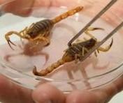 Número de escorpiões recolhidos já supera total de casos de 2017