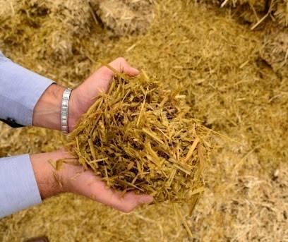 Silagem de trigo para gado de corte e leite