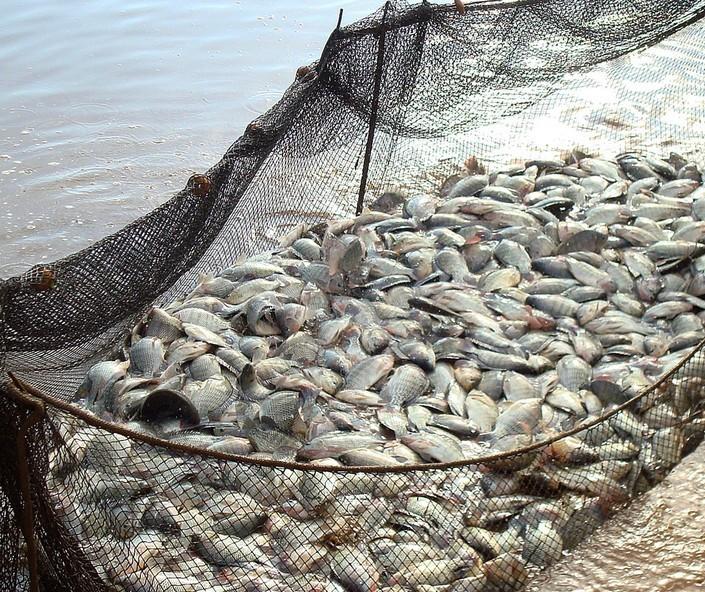 Paraná amplia liderança em piscicultura de cultivo