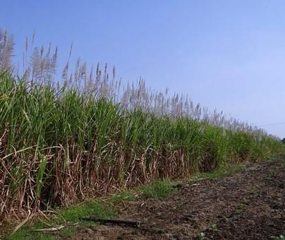 Safra de cana-de-açúcar atinge 85% no Paraná
