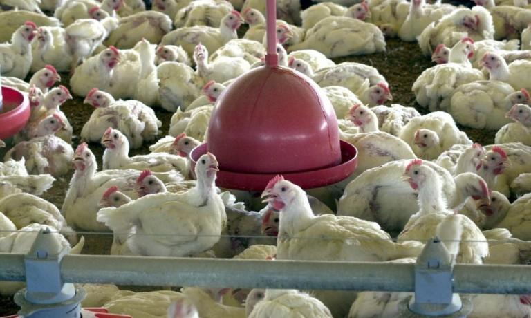 Cotações do frango abatido para a indústria mostram recuperação