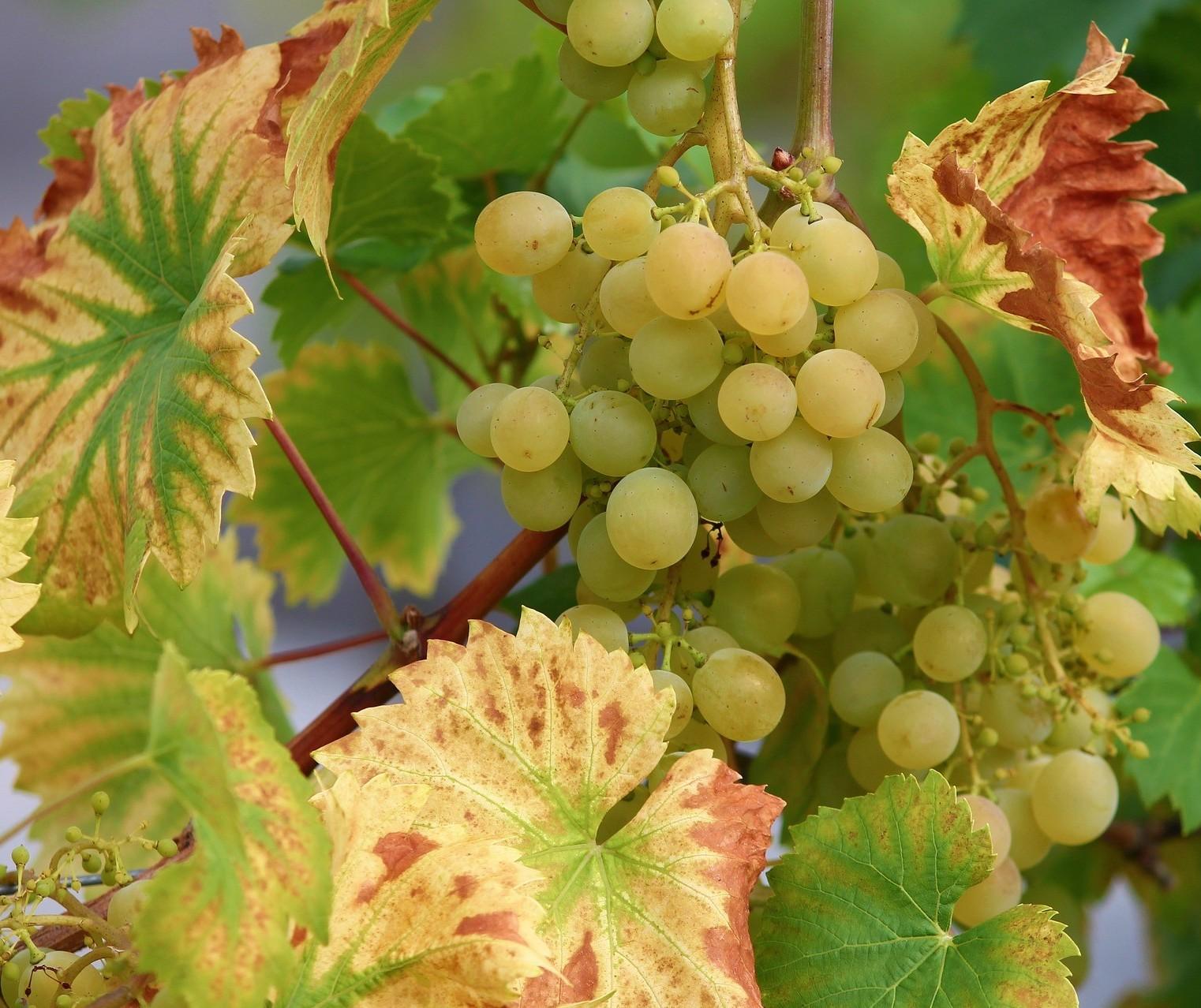 Uva podre faz vinho bom, mas não é regra e sim, exceção