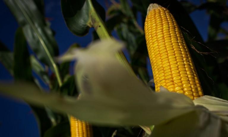 Atraso no plantio da safrinha de milho alonga entressafra brasileira