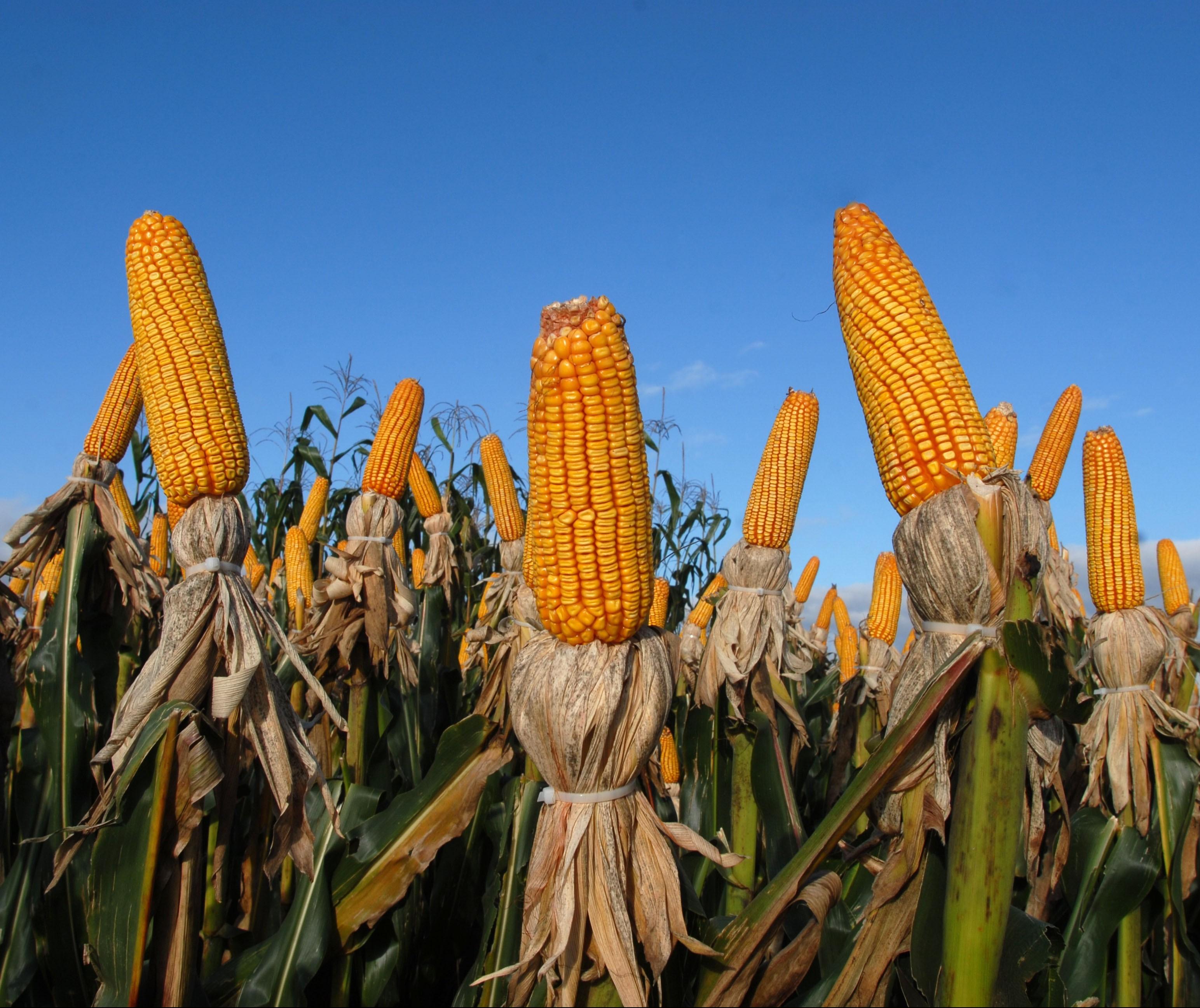 Brasil segue importando milho para atender demanda interna
