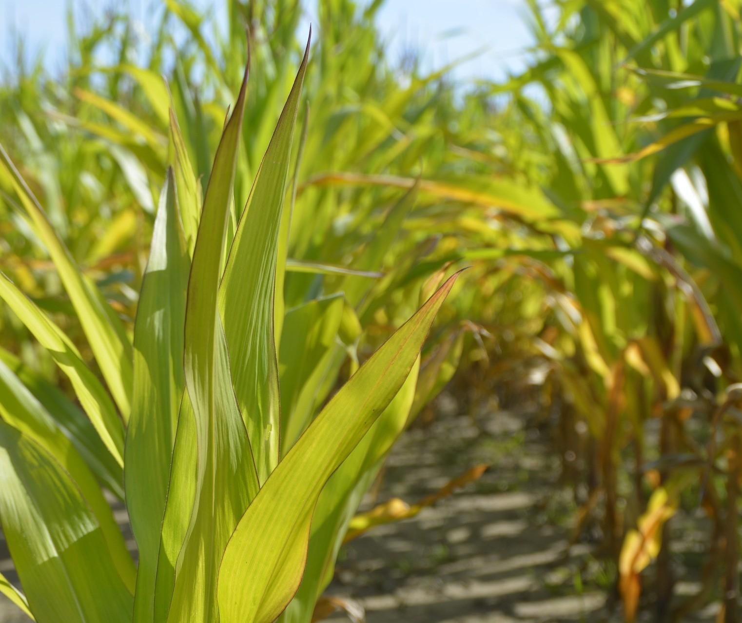 Desempenho do milho deve superar soja, trigo e arroz, diz consultoria