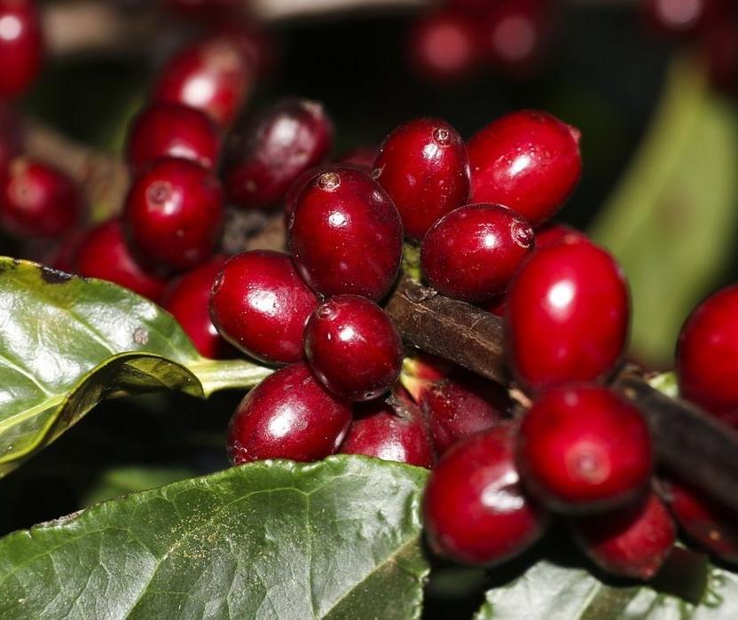 Café: com preços em patamares elevados, mais de 40% da nova safra já foi negociada