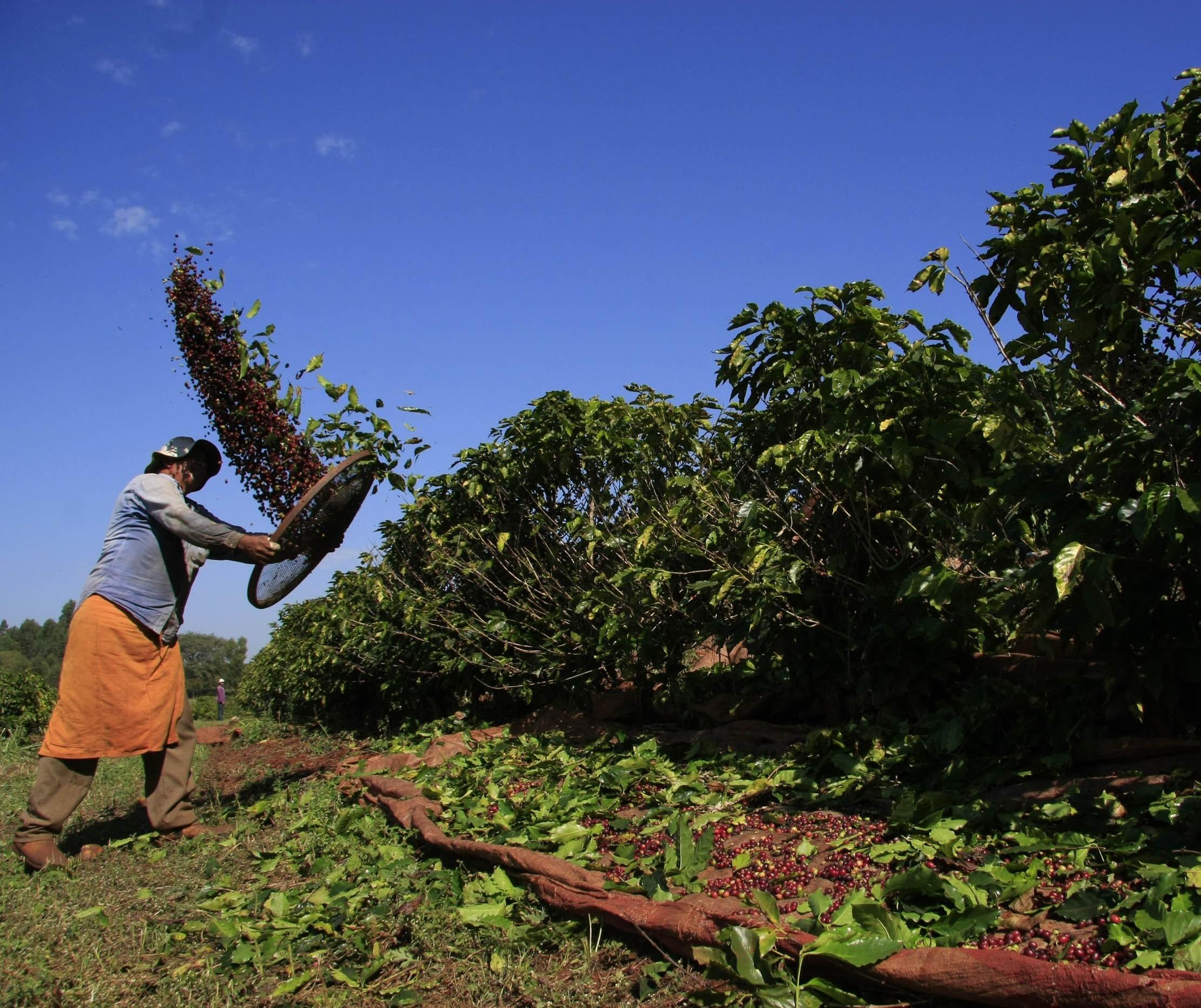 96% da área plantada com café no Paraná foi colhida